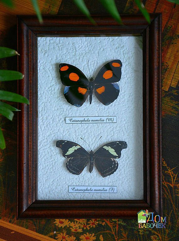 Butterfly Collection Framed Taxidermy  Catonephele Numilia