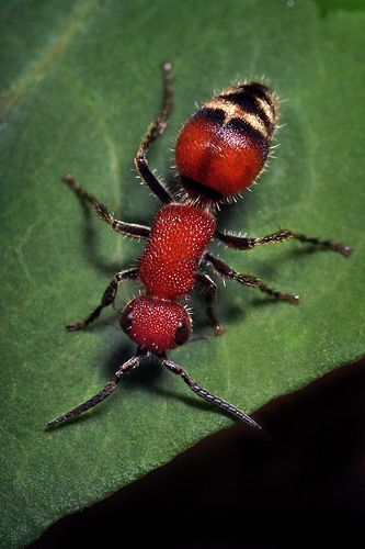 Wingless Wasp - Timulla - Also known an the Velvet Ant. In all reality it is actually a wasp that does not have wings