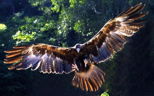 You can tell when a Wedge Tail Eagle flies over our valley as all other birds instantly go quiet until it has passed.