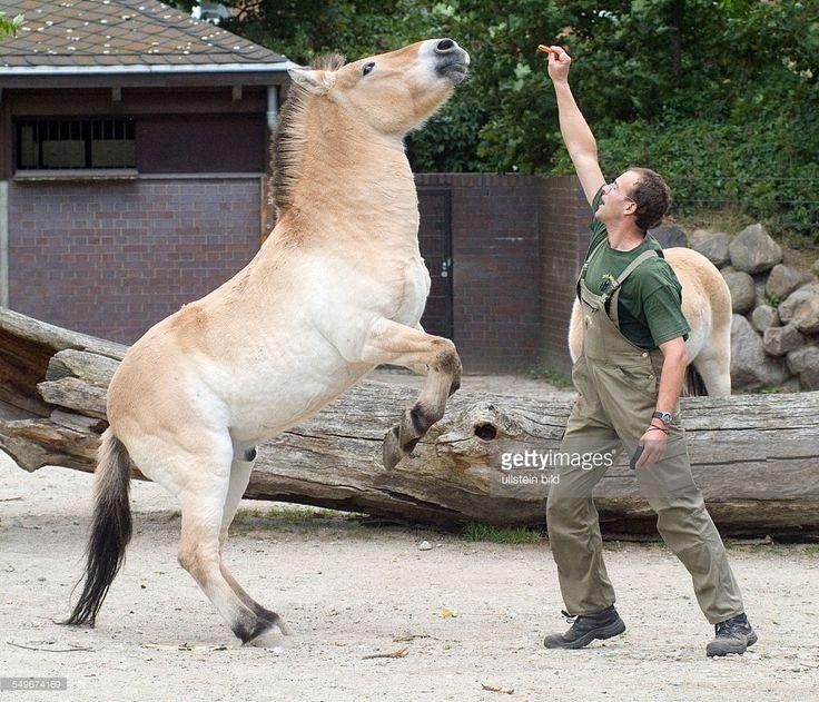 Zoologischer Garten Berlin / Przewalski Pferde Vitali und Vanda , Dressur mit Pfleger Bernd Dorn