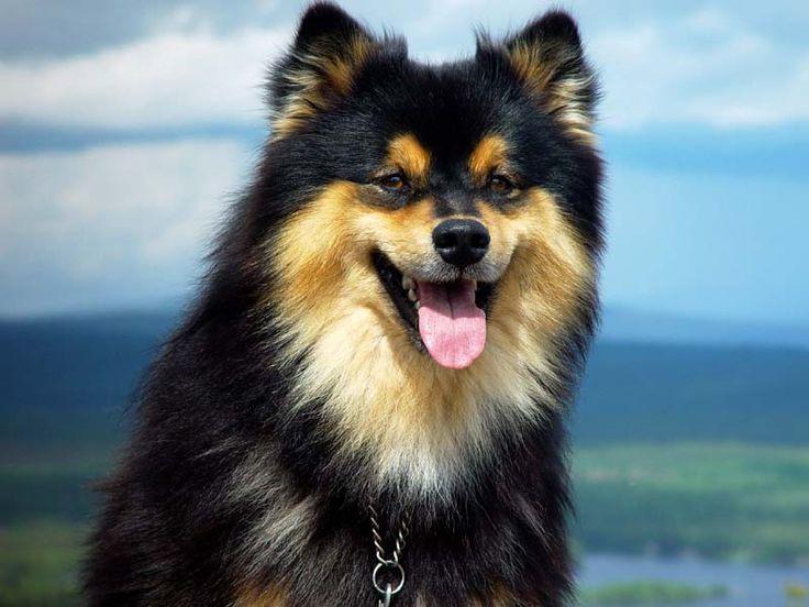 540 best Finnish Lapphund images on Pinterest   Doggies ...