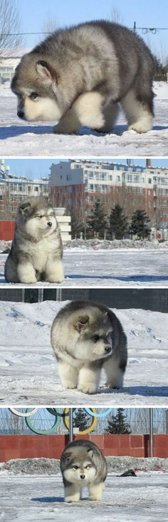 Floofy Malamute (I left the previous pinner's comment because I can't get over 'floofy')