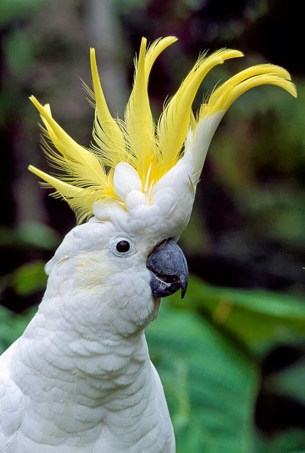 """Aussie Sulphur Crested Cockatoo-- found in many Aussie areas. GREAT MIMIC and TALKER. One of the main characters in """"Taconi and Claude-Double Trouble,"""" a fun, outback Aussie adventure for MG."""