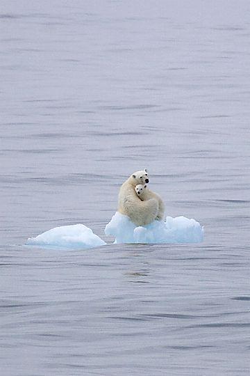 polar bear and baby on ice  Dios los protegera, a todos los animales todo vuelve, ellos son de EL.