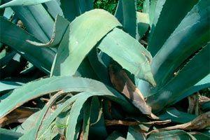 Cómo usar el Aloe Vera para hacer Crecer el Cabello