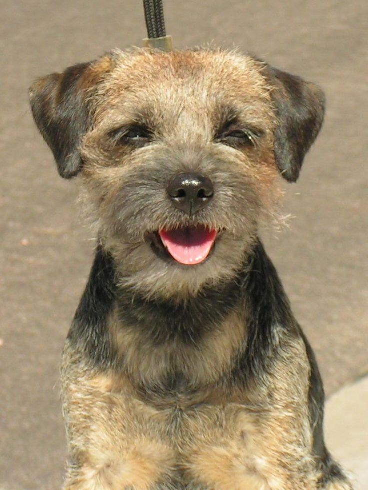 Smiling Border Terrier