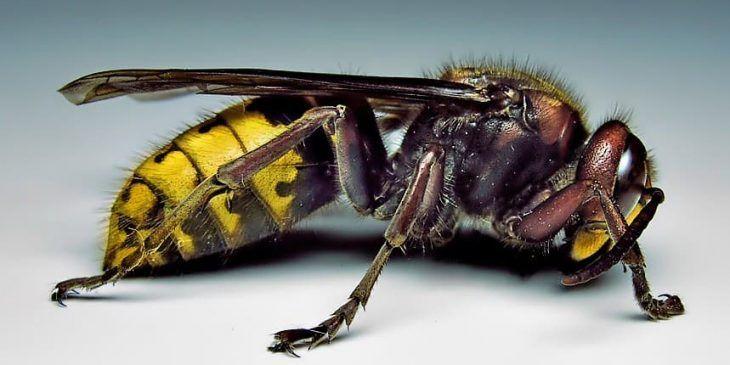 25 Types Of Wasps And Hornets Progardentips Wasp Hornet Asian Giant Hornet