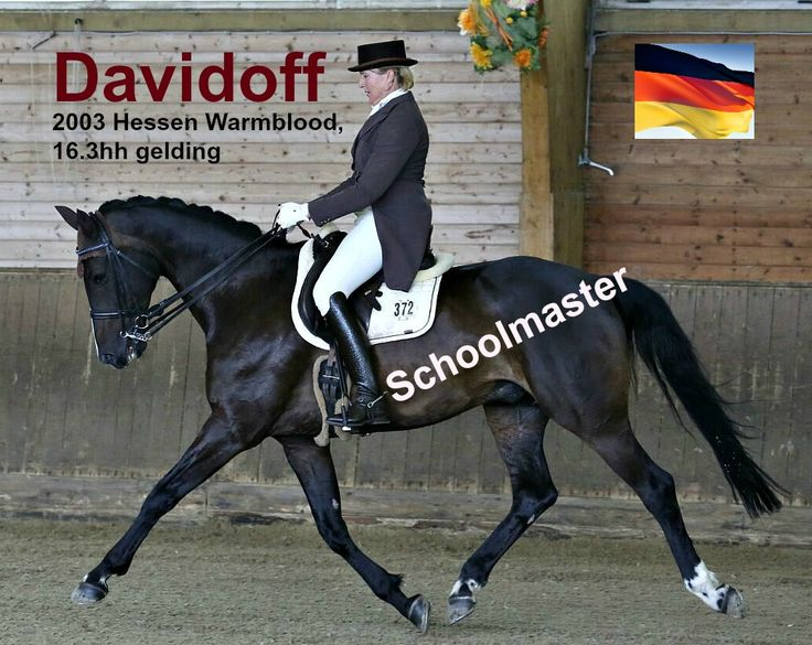 $50,000 CDN - (Davidoff) 2003 Hessen Warmblood (by Dressage Royal) is a schoolmaster whose shipping to Canada is currently in progress. He will land in March. Davidoff is an exceptionally well-bred, 16.3 hh gelding, proven Prix St. Georges performer is schooling Grand Prix level. Has competed on the small tour in Germany.