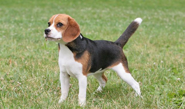 Beagles are scenthounds, meaning they live to use their nose. They are simple to groom and their exercise needs are easily met with a long that gives them plenty of time to sniff. Learn all about Beagle breeders, adoption health, grooming, training, and more.