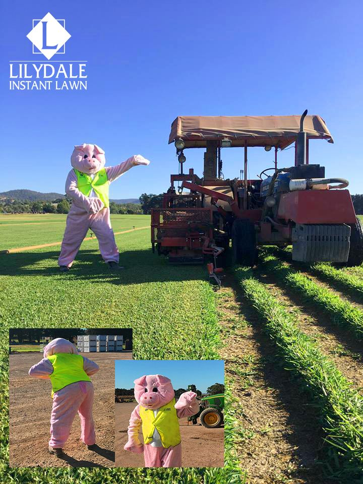 Lily & Dale | Victorian Pigs | Lilydale Instant Lawn Lawn Supplier | Instant Turf |Sir Walter Buffalo DNA Certified | Lawn Solutions Australia | Online Store | Local Pick up & Delivery | Lawn Care | Turf Farm | Melbourne | Victoria | Garden | Grass