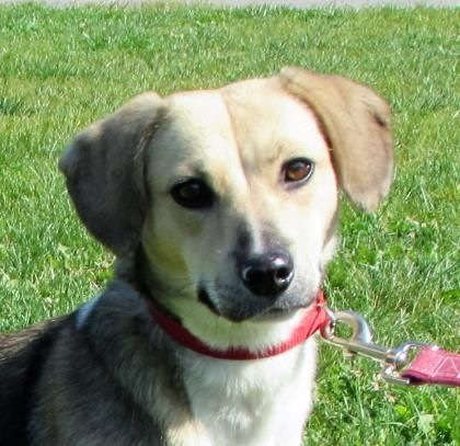 Chimago is an adoptable Beagle searching for a forever family near Twinsburg, OH. Use Petfinder to find adoptable pets in your area.