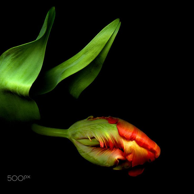I BELIEVE I CAN FLY… Tulip by Magda Indigo on 500px