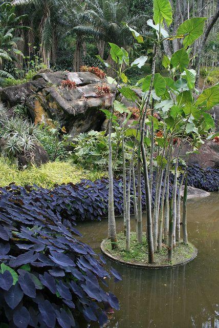 Barra de Guaratiba by Roberto Burle Marx, Rio de Janeiro, Brazil. Colocasia, pygmy pandanus, broms, philodendrons & Montrichardia linifera.