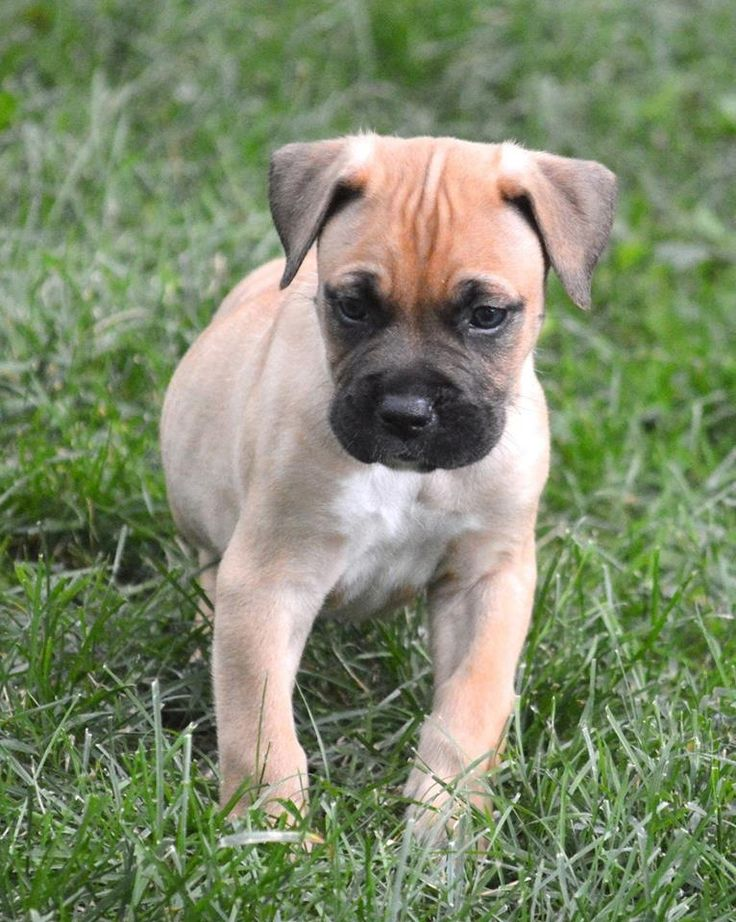 bluenose bulldog best 25 boxer mastiff mix ideas on pinterest boxer pit 2284