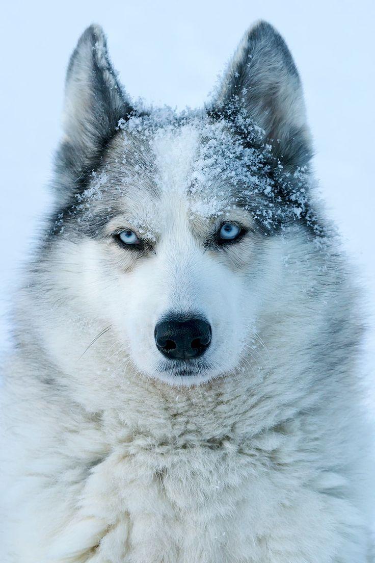 Frozen by Peter Schellig https://500px.com/photo/212862461/frozen-by-peter-schellig?ctx_page=8&from=popular #frozen #animal #dog