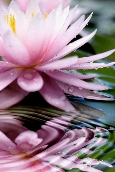"""""""The lotus is a flower that grows in the mud. The thicker and deeper the mud, the more beautiful the lotus blooms."""" May you live like the lotus: at ease in muddy water!"""