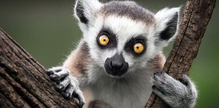 Dropbox - lemur-facts.jpg