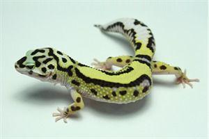 Leopard Gecko Morphs - Bandit