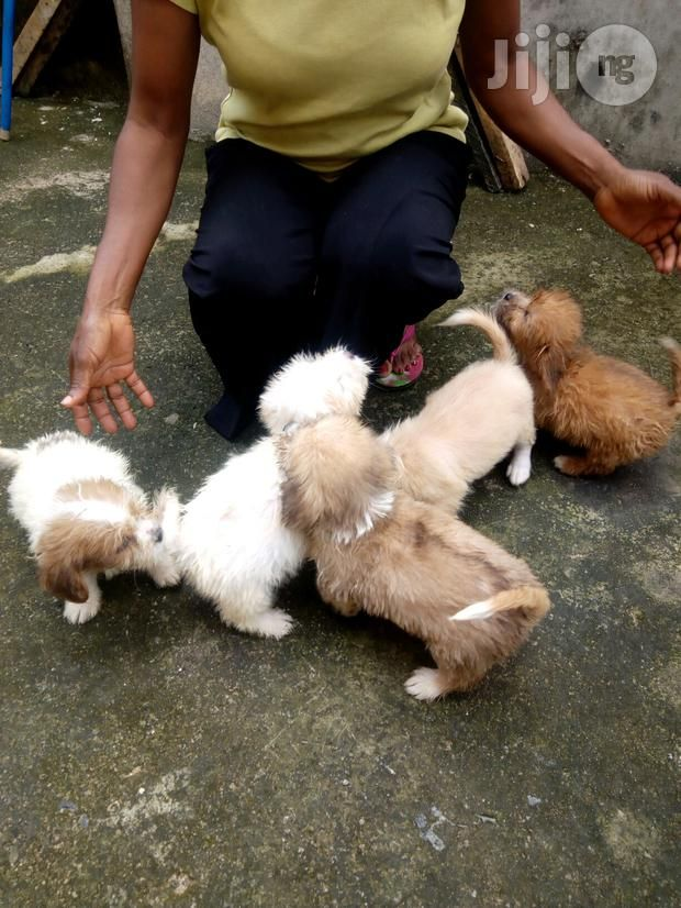 Lhasa Apso Pups In Ovia North East Dogs Puppies Israel Elunor