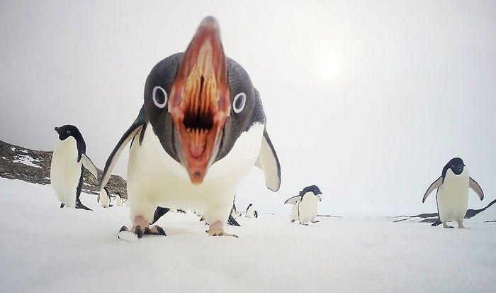 Quando pinguins atacam, Antártida National Geographic 2015