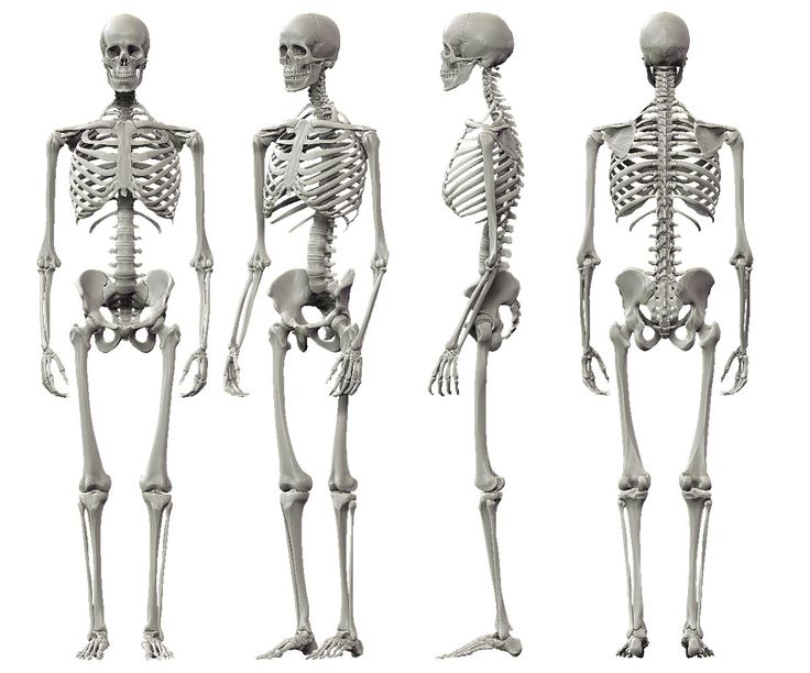 best 25+ skeleton anatomy ideas only on pinterest | human skeleton, Skeleton