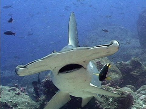 Jonathan Bird's Blue World: Hammerhead Sharks...view other kid friendly Jonathan Bird ocean videos on youtube.com