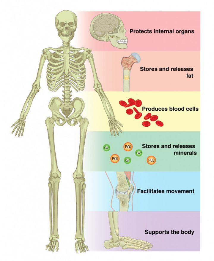 Image result for human skeleton functions