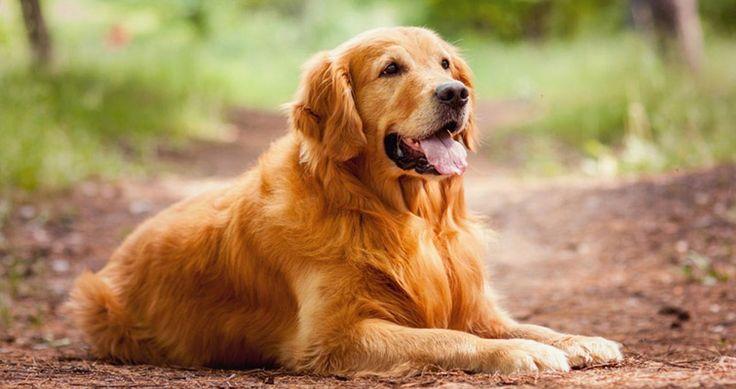 Feeding guide for your golden retriever petsworld