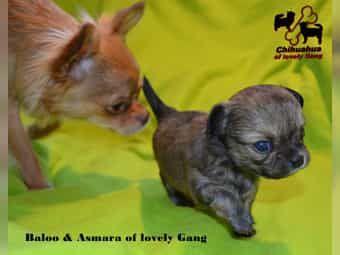 Typvoller Chihuahua Bub sucht sein zu Hause auf LEBENSZEIT