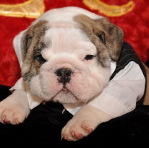 English Bulldog Puppy Sold from Puppychase Kennels - 2009