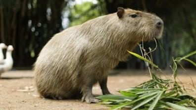 World's Largest Rodent spotted in CA now! Uh oh....guess all the agents will have competition