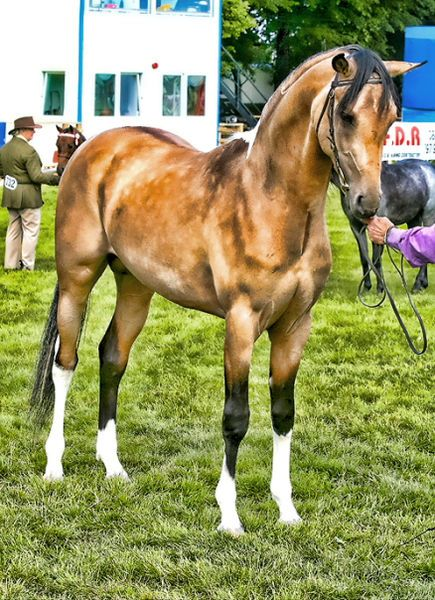 """Part-Arabians may have coat colors not found in purebred Arabians, such as this """"bay champagne"""" part-Arab"""