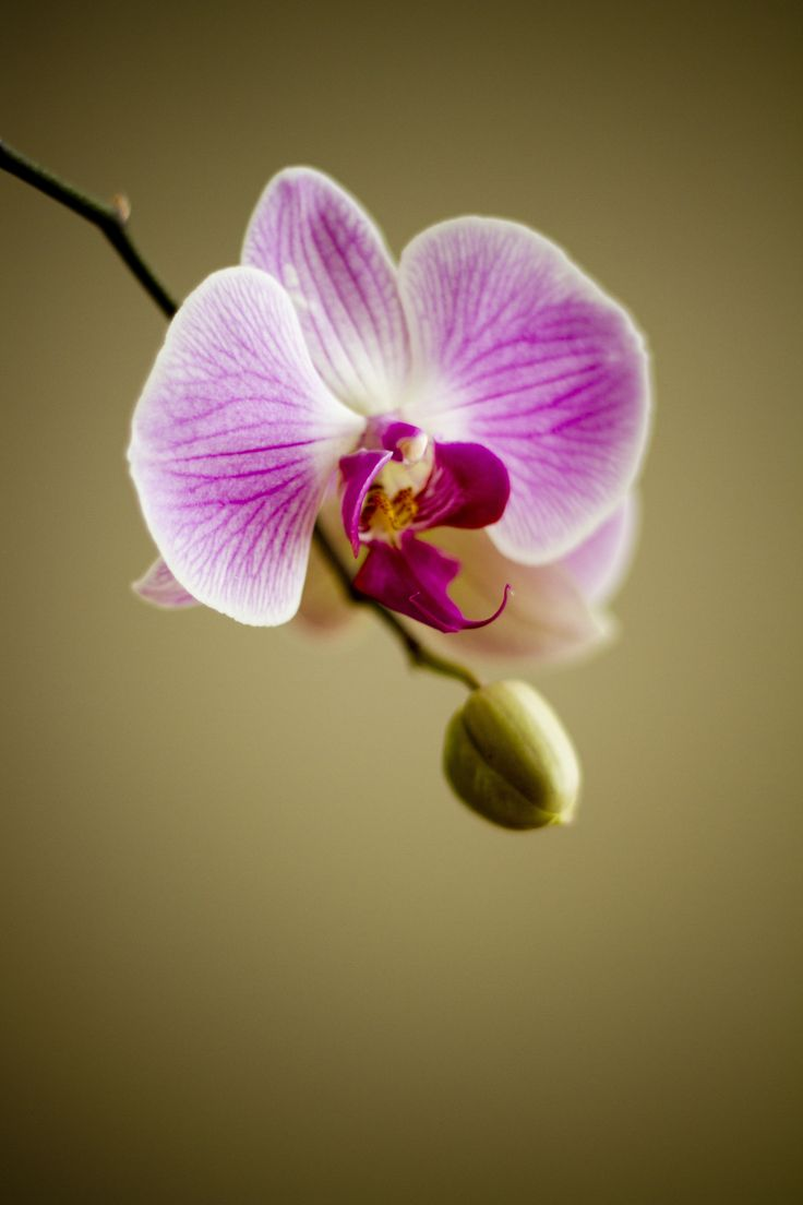 White and Purple Orchid · Free Stock Photo