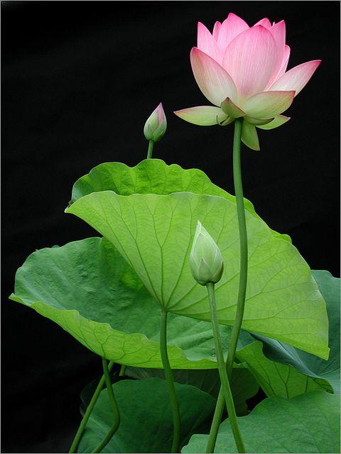 Du lotus dans un bassin