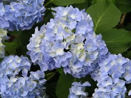 hydrangeas pictures - Google Search  would work well with Phlox Sherbet Cocktail