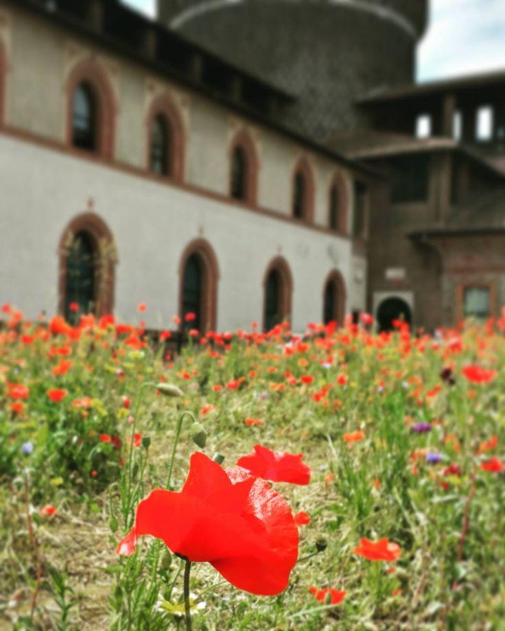 Io sono il piccolo papavero vivo nel prato tra le spighe di grano sorrido sorrido sempre anche quando il vento e la pioggia cercano di abbattere me.. I bambini mi amano e io gioco con loro sono lallegria di ogni prato! [Daniela Cesta]  #milano #milan #italy #igersmilano #city #madeinitaly #ig_milano #spring #papavero #poppy #flower #rosso #red #papaveri #papaverorosso #flowers #instanature #naturelovers #castellosforzesco #castle #parcosempione #sforzacastle #milanodavedere #milanocity…