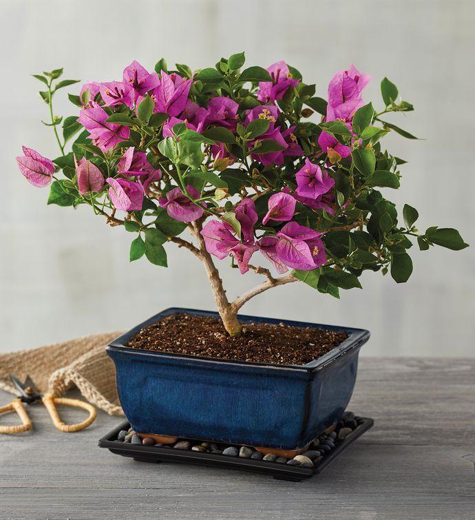 Bougainvillea Bonsai Tree Gift Buy Bonsai Trees Harry David Buy Bonsai Tree Indoor Plant Gifts Bonsai Trees For Sale