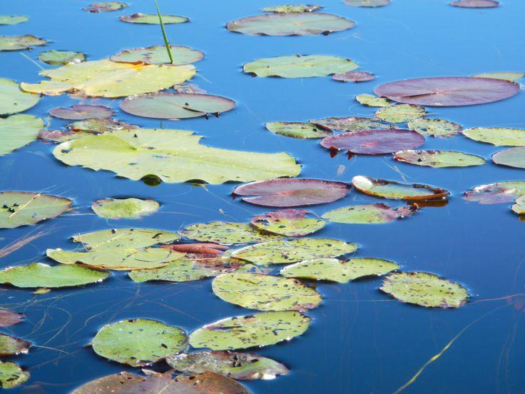 Lily pads, Torsey Pond, Readfield, Maine
