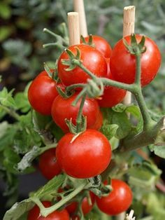 Planta tomates cherry en casa