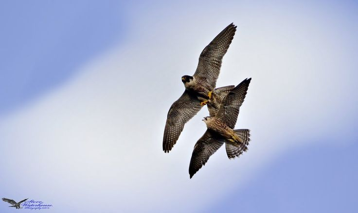 Peregrine falcons ..Female and Juvenile at play Steve Waterhouse