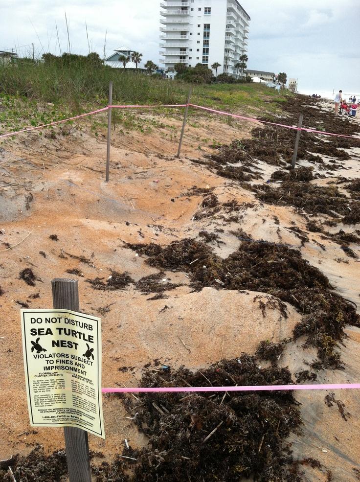 Sea turtles in Ormond Beach Ormond beach florida, Ormond