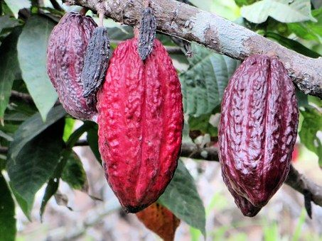 #cacaopods #chocolate #fruit #massive #cocoabeans