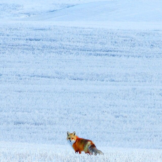 lacey_bearA nice splash of colour on the snowy prairie landscape