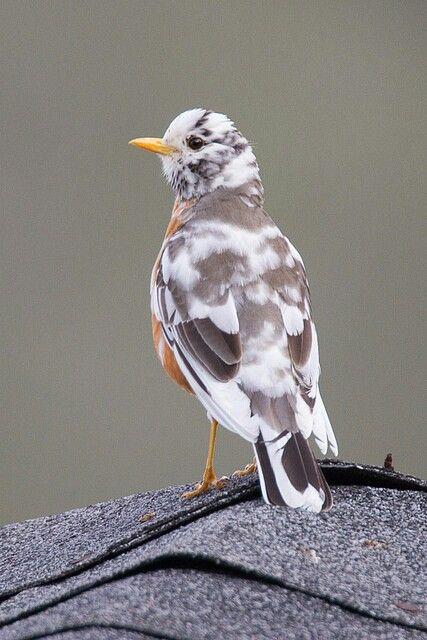 A Leucistic American Robin