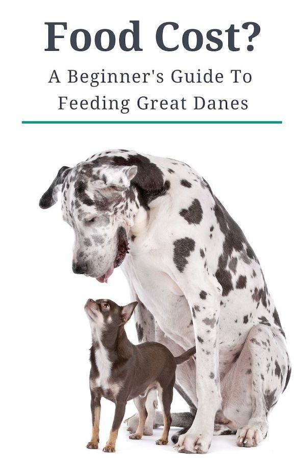 As A Giant Breed Great Danes Can Eat A Lot Of Food This Guide