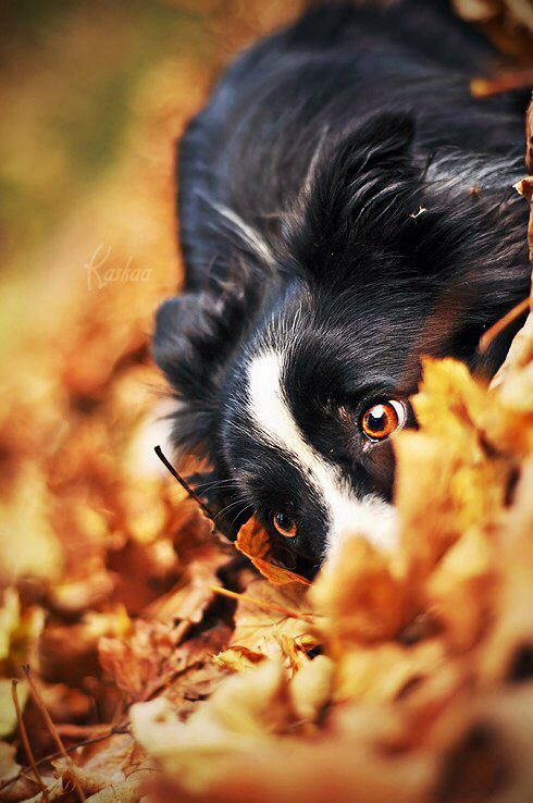black and white dog crouching in fall leaves