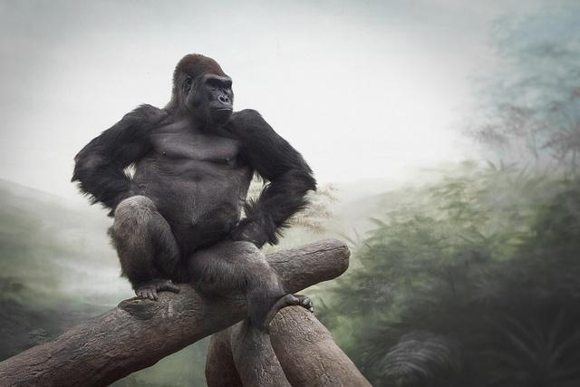Western Lowland Gorilla by William T Hornaday on Flickr.