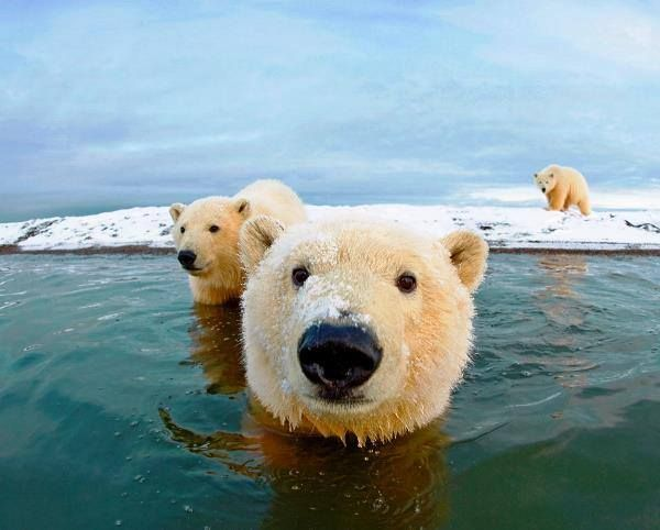 Polar Bears                                                       …                                                                                                                                                                                 More