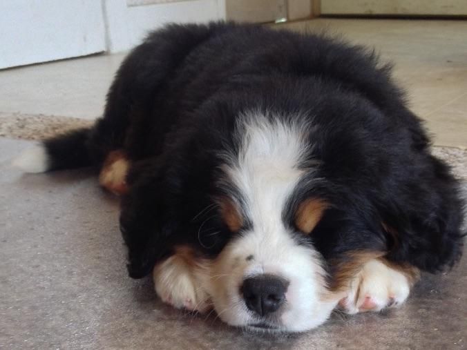 Snuggly Bernese Mountain Dog puppy