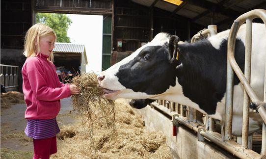 [b]Boerderij[/b] - FarmCamps De Geele Bosch: droge koeien aan het voeren